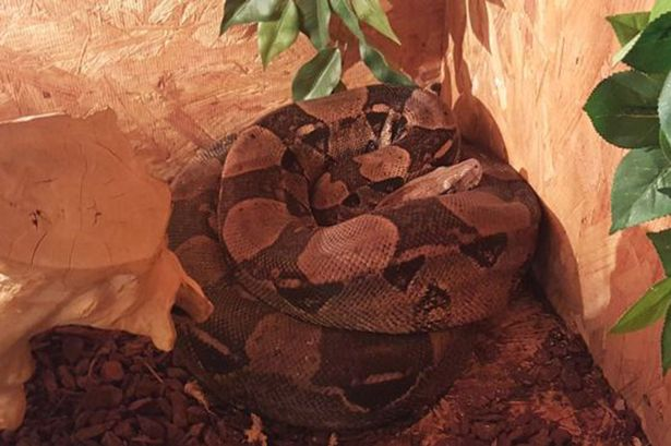 An-8ft-24-metre-snake-is-on-the-loose-in-Cumbria-after-escaping-from-its-owners-home